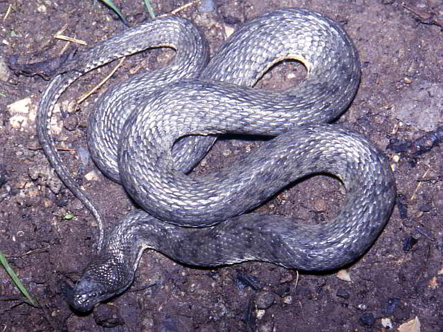 Cerberus rhynchops (Dog-faced Water Snake)